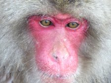 Japanese Snow Monkey 1