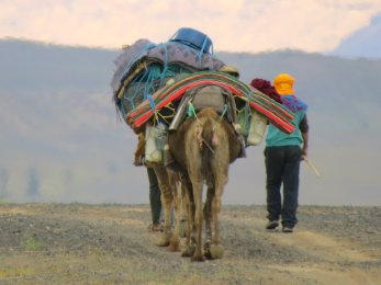 Camel Leaving Morocco