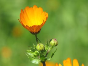 Morocco Wild Flower