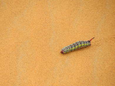 Sahara Bug
