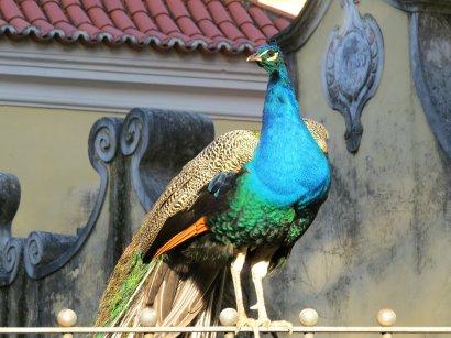 Lisbon Peacock 1