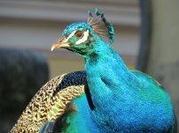 Lisbon Peacock 2