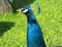 Lisbon Peacock 3